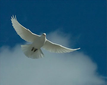 White Dove in the Bible