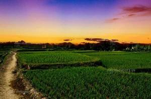 gambar ubud_bali_sunset_ricefield mayaubudcom